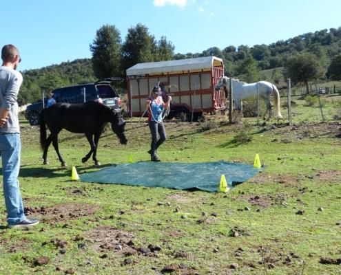 Cheval corse – Concours officiel Equifeel FFE à Castirla